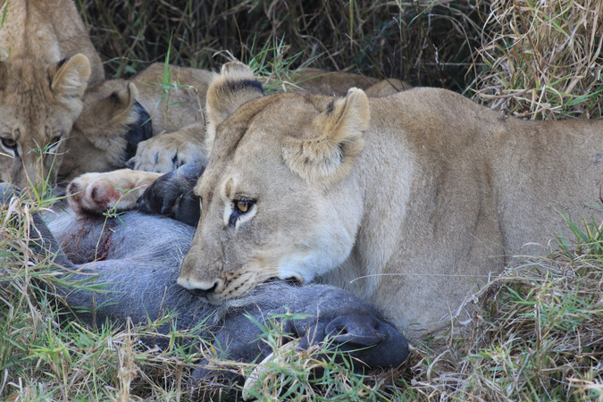 lioness, lion cubs, warthog kill, wildlife