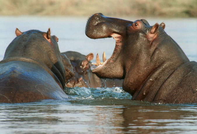 hippo, water, wildlife