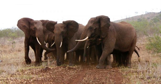 Elephant Herd Wildlife ACT Susu Hauser Zimanga Photo by Susu Hauser