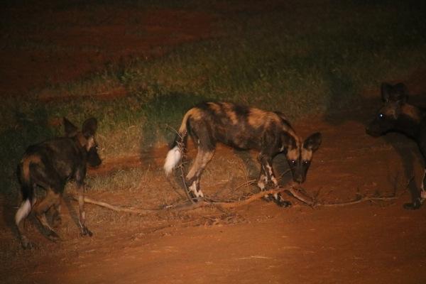 wild dogs, Il Ngwesi, Kenya