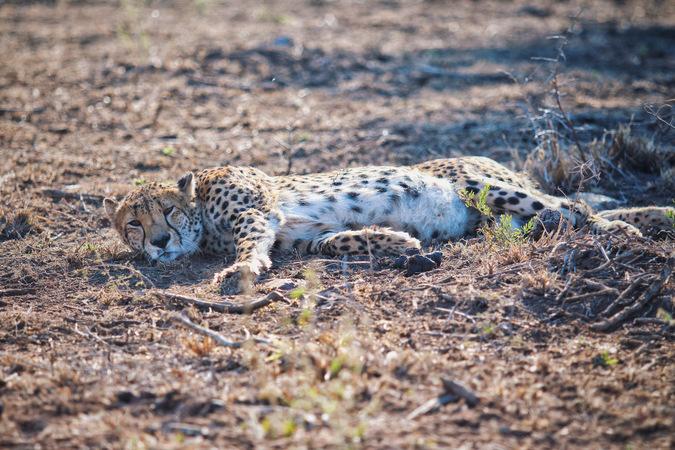 cheetah, wildlife, big cat