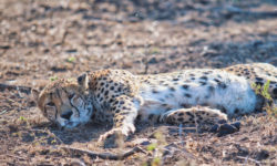 cheetah lying down, wildlife