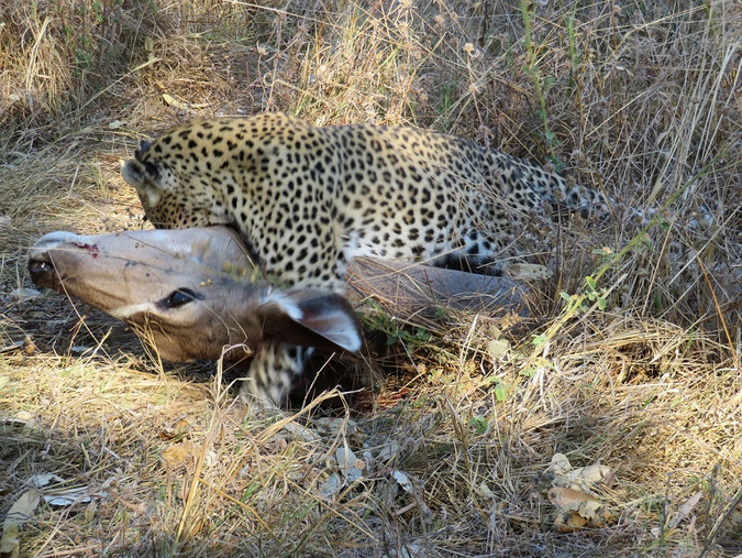 leopard cub with kudu kill, Khwai Concession, Moremi Game Reserve, Botswana