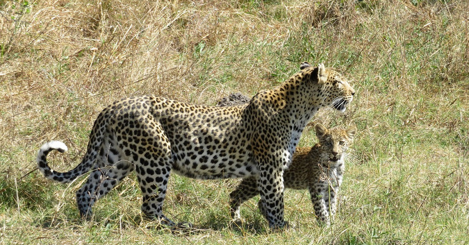 leopard and three-month-old cub, Khwai Concession, Moremi Game Reserve, Botswana