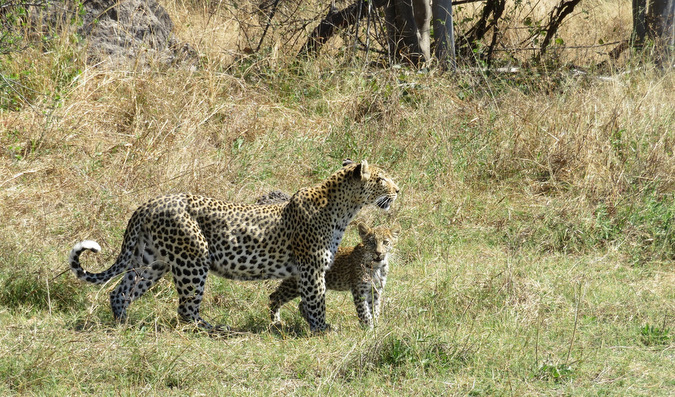 leopard with three-month-old cub, Khwai Concession, Moremi Game Reserve, Botswana