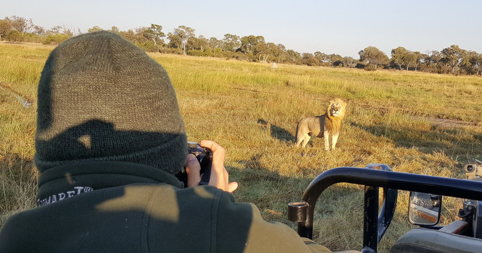 lion viewing from a game drive vehicle, Khwai, Botswana