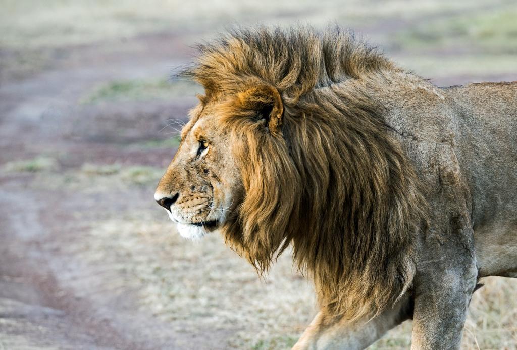 A lion in the Maasai Mara, Kenya