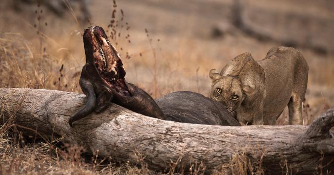 lioness, buffalo carcass, wildlife