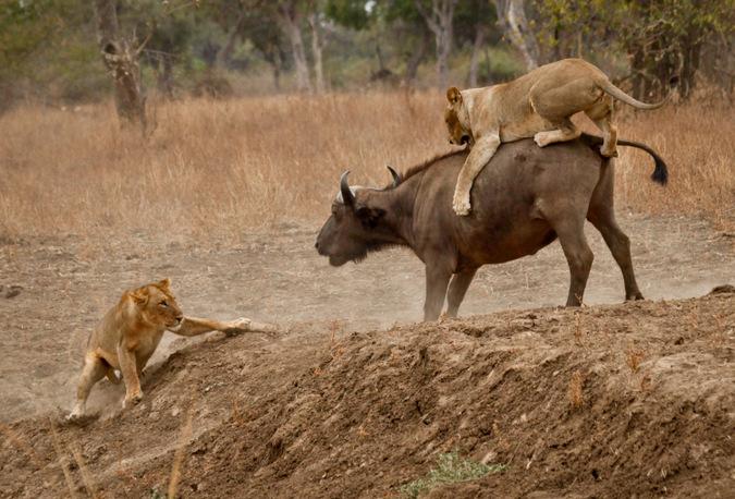 lioness, hunt, buffalo, wildlife