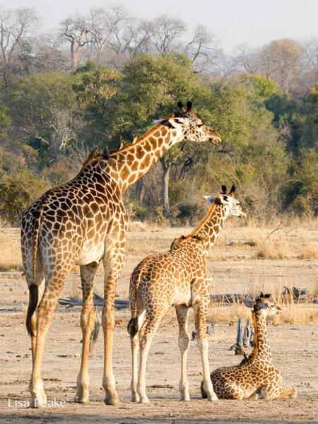 3 Thornicroft's giraffes, Luangwa Valley, Zambia