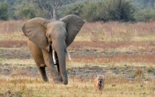 spotted hyena being chased by an elephant in South Luangwa, Zambia
