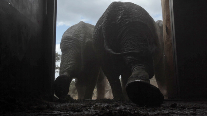 elephants leaving container, translocation, Malawi