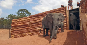 elephants leaving container, boma, translocation, Malawi