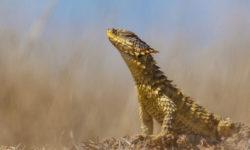 sungazer lizard, reptile