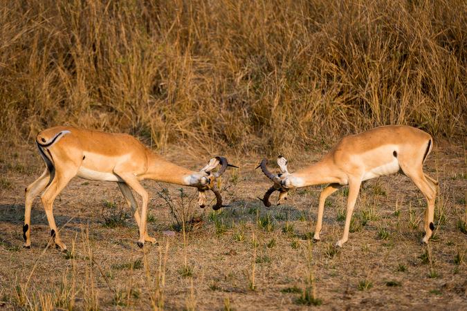 two impalas, South Luangwa, Zambia