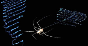 spitting spider with silk © Robert B. Suter/ Gail E. Stratton