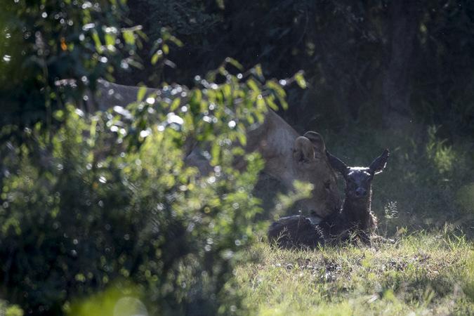 newborn waterbuck and lioness, Maasai Mara, Kenya