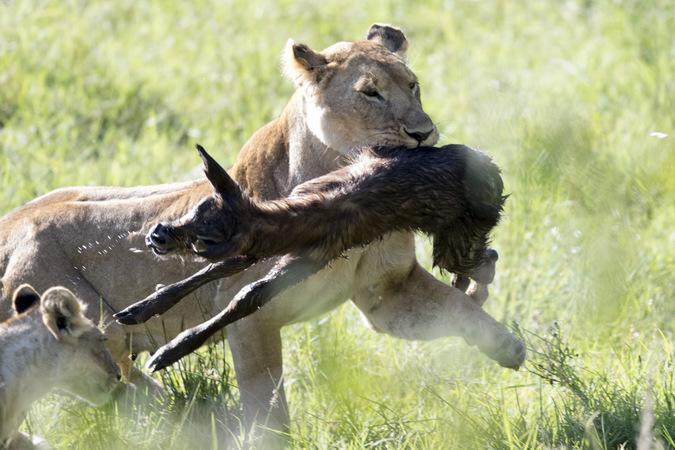 lioness with newborn waterbuck, running, Maasai Mara, Kenya