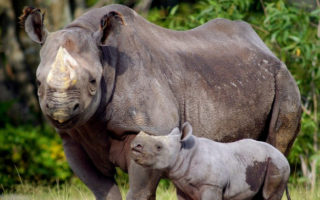 Black Rhino Conservation with WWF - John Hume Rhino Horn Auction Arguments