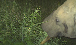 elephant, camera trap, wildlife, conservation
