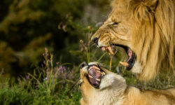 lion and lioness up close