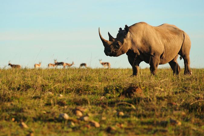 rhino, antelope, wildife