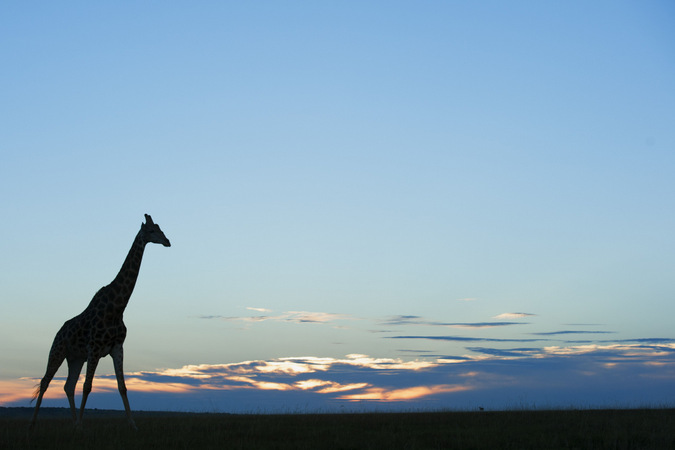 giraffe, sunset, wildlife, landscape