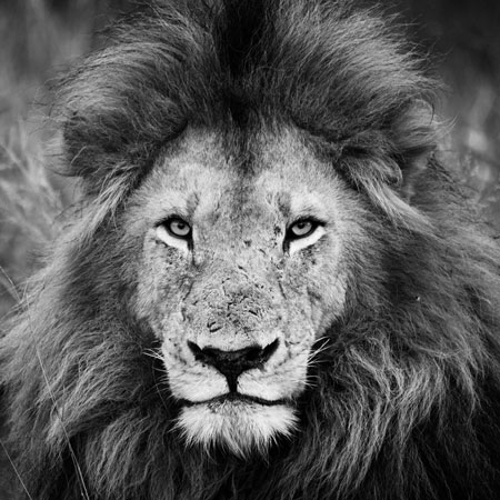 male lion, b&w, Sabi Sands Game Reserve, South Africa