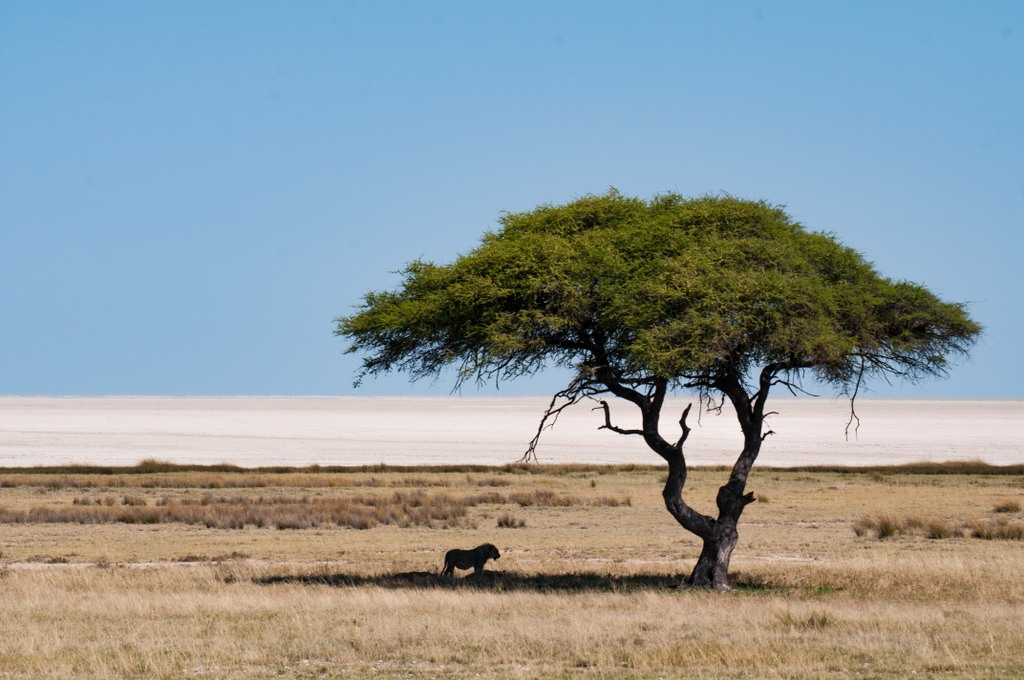 A lion stands in the shade of a tree in Etosha National Park, Namibia