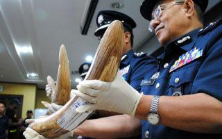 malaysia-pangolin-ivory-© Aqeela / TRAFFIC