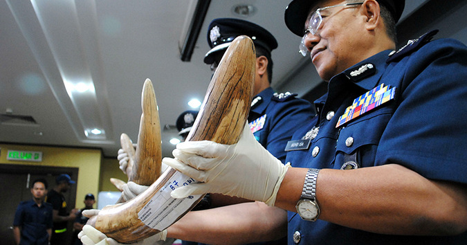 Malaysia, pangolin, ivory, seizure ©Aqeela / TRAFFIC