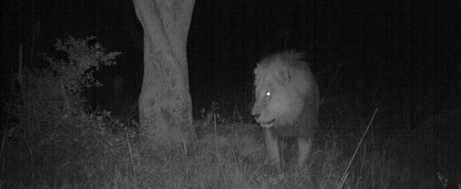 camera trap, male lion, Namibia
