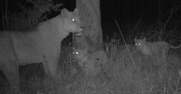 camera trap, lioness and cubs, Namibia