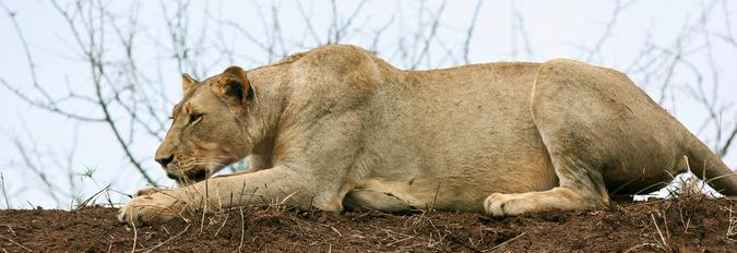 lioness, wildlife, big cat