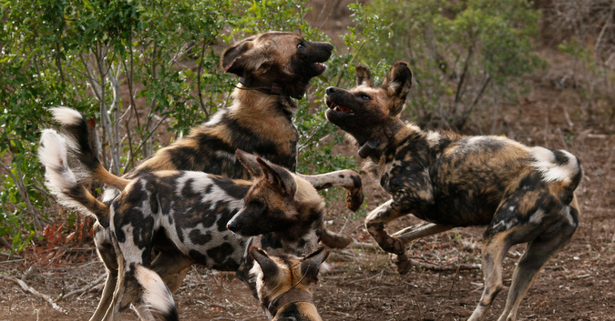 wild dogs, playing, South Africa