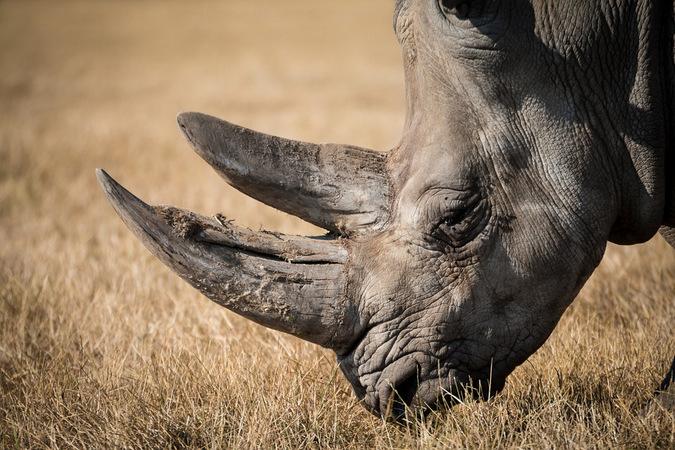 rhino horn, rhino, wildlife