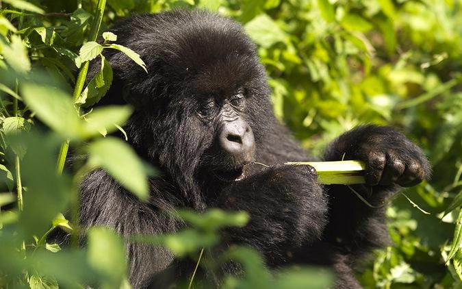 mountain gorilla, forest