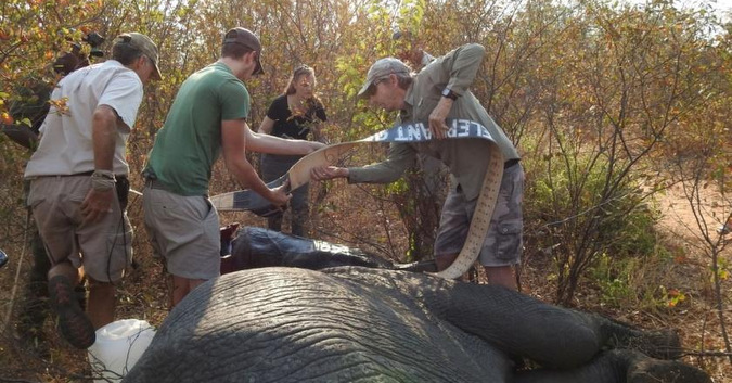 Fitting a collar to a wild elephant in Kavango Zambezi Transfrontier Conservation Area in Zambia