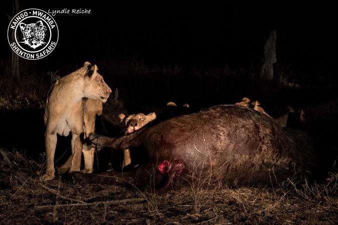 lion, buffalo kill, Mwamba Bush Camp, South Luangwa National Park, Zambia