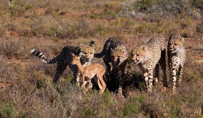 four cheetah, baby antelope, wildlife, big cat, South Africa