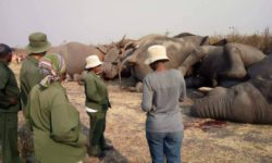 Elephants electrocuted Botswana