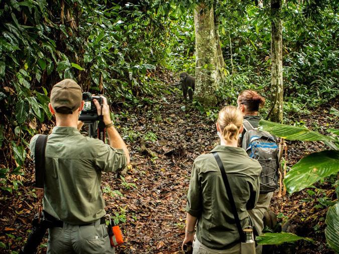 lowland gorillas, primate, safari, Odzala-Kokoua National Park, Congo