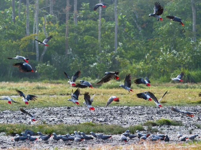 Grey parrots, bird, Odzala-Kakoua National Park, Congo © Odzala