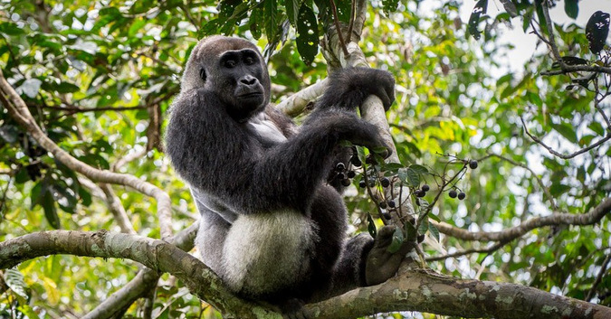 A silverback western lowland gorilla relaxes in the trees in Odzala-Kakoua National Park, Congo