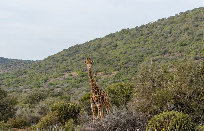 giraffe, wildlife, Kwandwe Private Game Reserve, Eastern Cape, South Africa