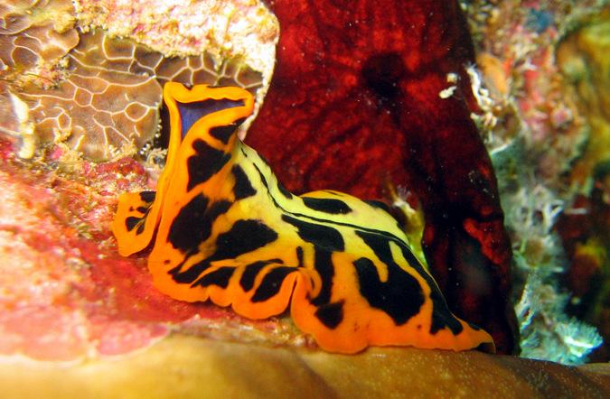marine flatworm, polyclad, ocean, Mafia Island Marine Park, Tanzania
