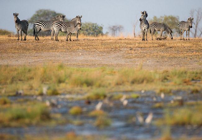 zebra, photographic safari, wildlife photography, Nsefu Sector, South Luangwa National Park, Zambia