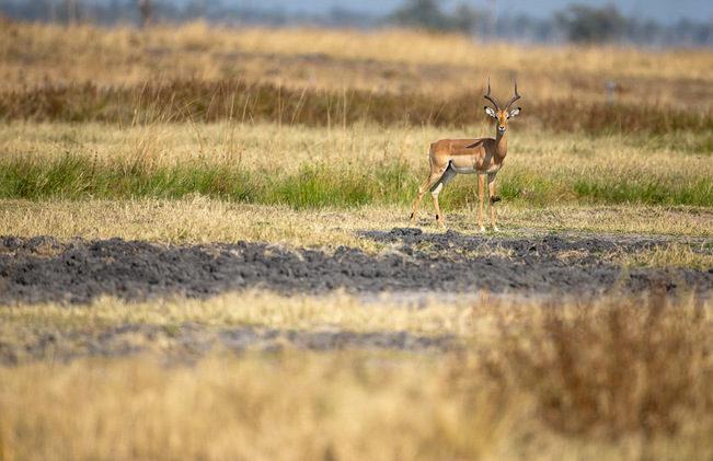impala, photographic safari, wildlife photography, Nsefu Sector, South Luangwa National Park, Zambia