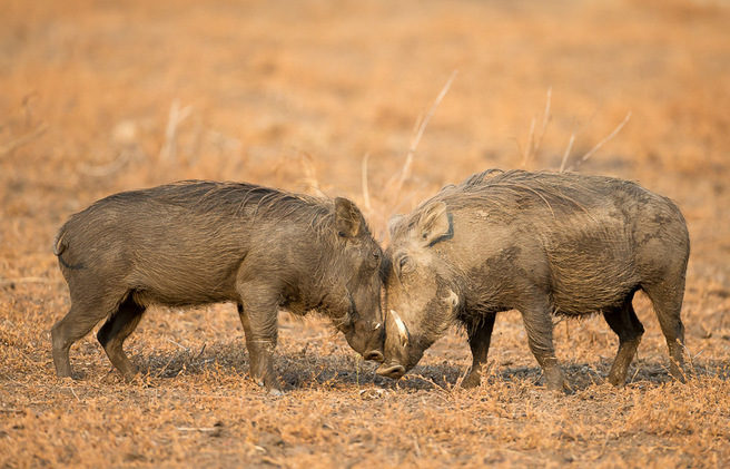 warthog, photographic safari, wildlife photography, Nsefu Sector, South Luangwa National Park, Zambia