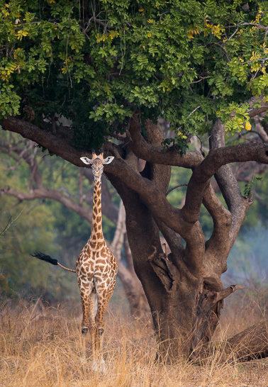 giraffe, photographic safari, wildlife photography, Nsefu Sector, South Luangwa National Park, Zambia